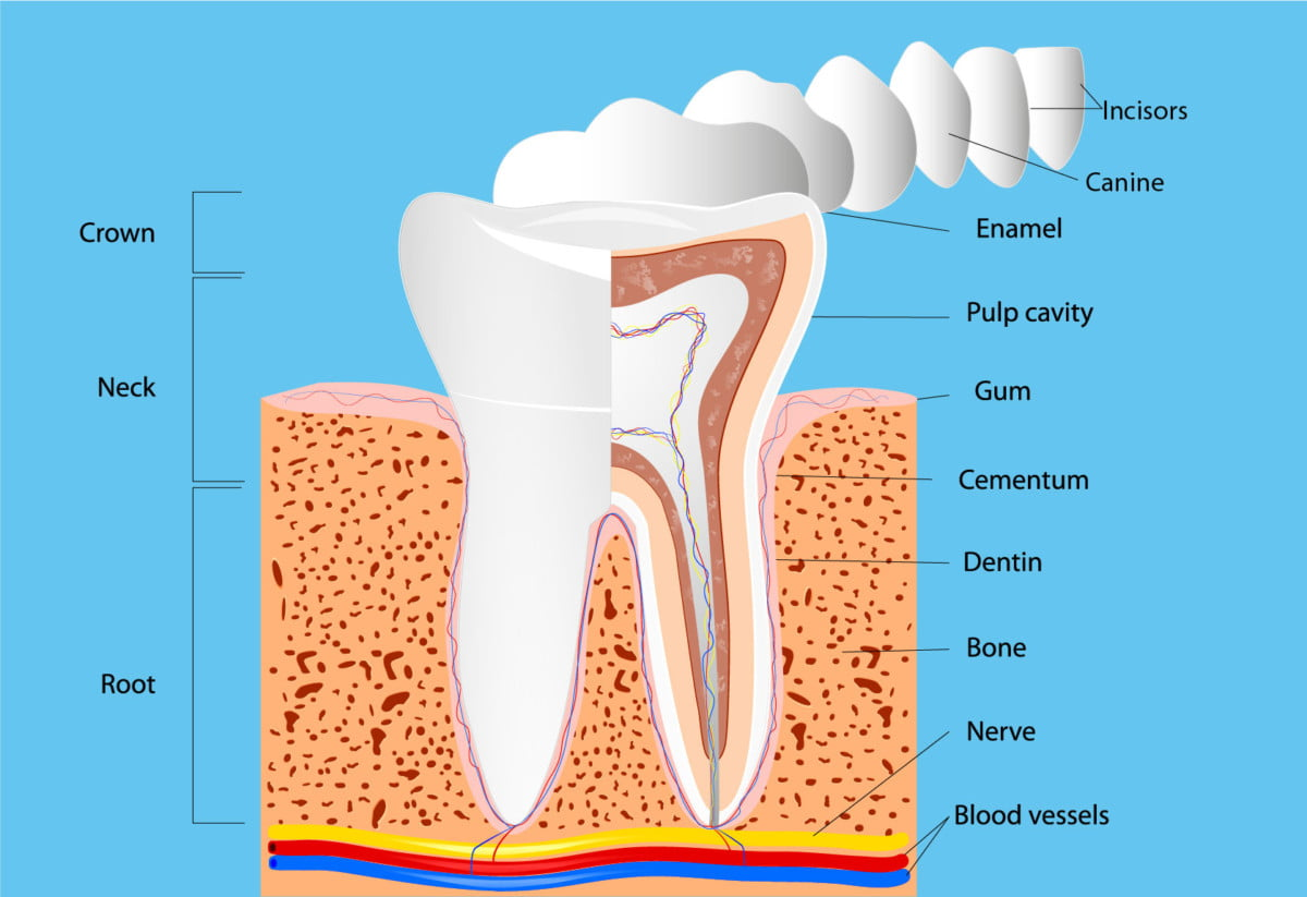 structure of tooth diagram